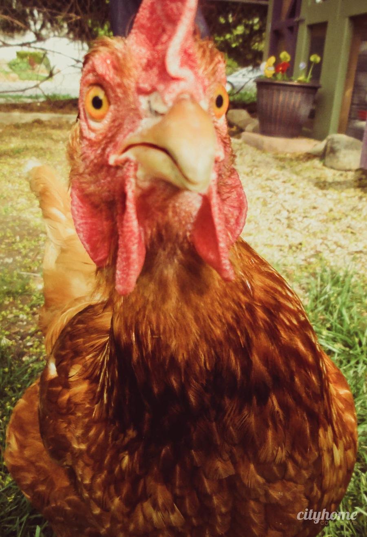 Urban Chicken Farming cityh    Natalie Gal