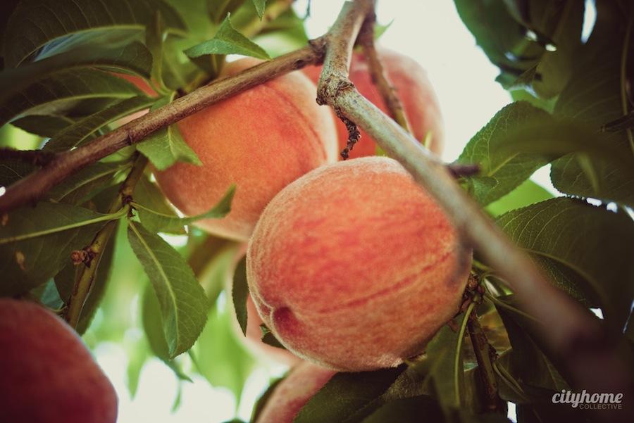 Salt-Lake-Fruit-Share-program-7
