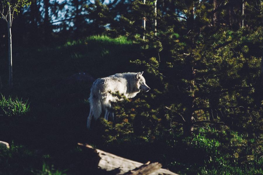 YellowstoneUnderCanvas-337